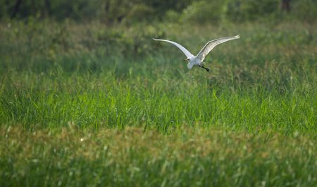 Great Egret flying in a greenfield Stock Photo