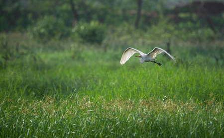 Great Egret Flying in a Paddy field
