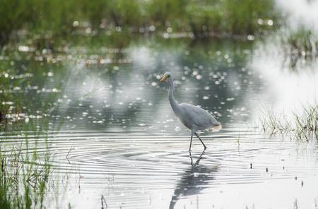 Great Egret Bird in the field stream hunting