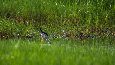 A Black winged stilt looking for food in a water stream near a paddy field