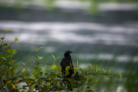 seabird: A little cormorant sitting on a small tree near a river