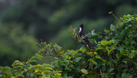 A Jacobin Cuckoo Bird Perched on a tree