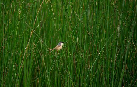 Ashy Prinia bird in a cultivation field