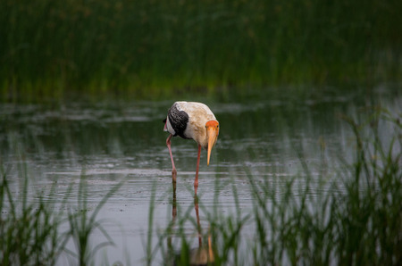 A Painted stork bird in a shallow water stream Stock Photo
