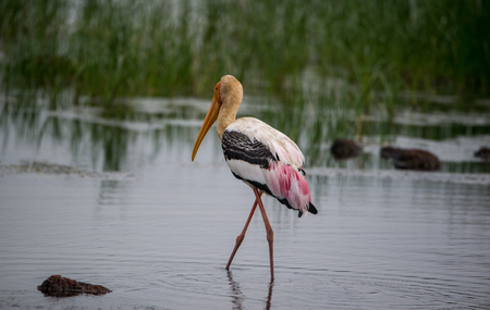 thru: Painted Stork wading thru water in a river looking for fish