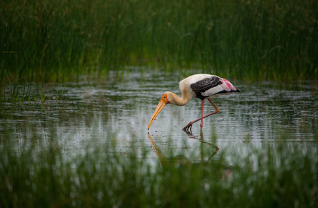 Painted Stork Bird with fish in water Stock Photo
