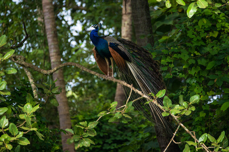 An Indian Peafowl Bird perched on a tree branch