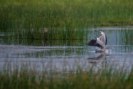 Grey Heron Bird just landed in water near paddy fields Standard-Bild