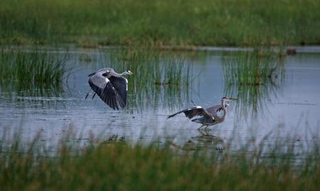 Grey Heron Birds territory dispute in water