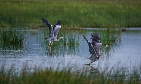 Grey Heron Birds fighting for hunting territory