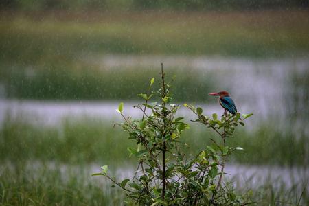Kingfisher bird getting wet in the rain Stock Photo