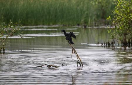 インドの Comorant は、体から水を振り落としている 写真素材
