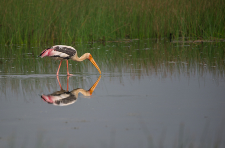 Painted Stork bird in a shallow water field near paddy field in the morning
