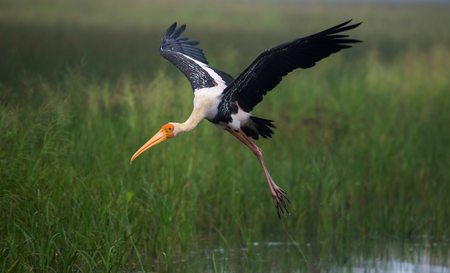 A Painted Stork bird took from the water Stock Photo