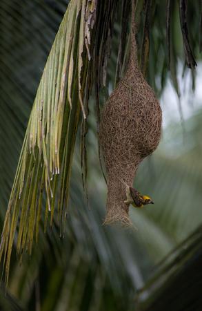 A baby weaver bird weaving the nest for breeding