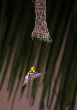 WEAVER: A baby weaver bird flying into the nest with food