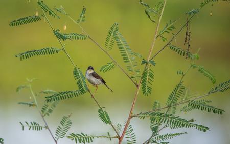 Ashy Prinia Bird looking straight to the camera
