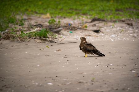 A black kite bird on the beach