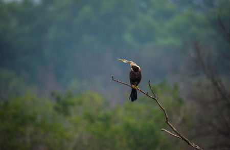 Perched Oriental Darter bird with neck out