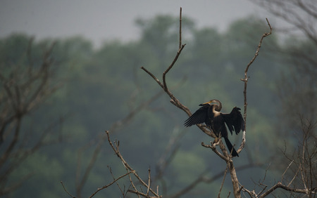 Oriental Darter getting its wings dry under the sun Stock Photo