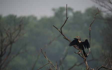 Oriental Darter Bird basking under the sun