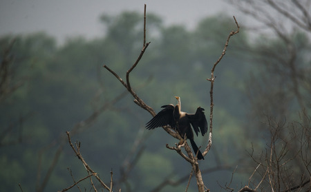 Oriental Darter Bird drying from a tree top under the sun Stock Photo