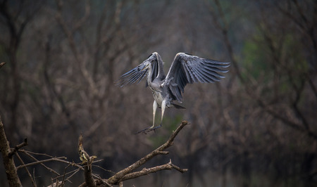 Grey Heron bird about to land on a tree in the river