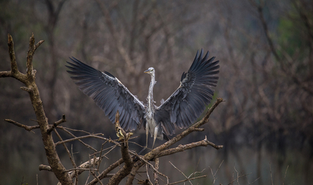 Grey Heron standing on top of a tree with wings spread out Foto de archivo