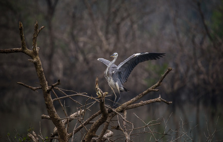 Grey Heron bird on top of a tree with wings spread out 스톡 콘텐츠
