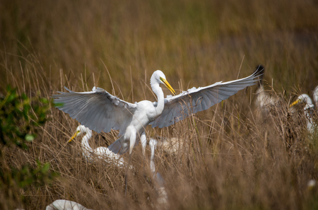 White Egret showing off his territory to the flock
