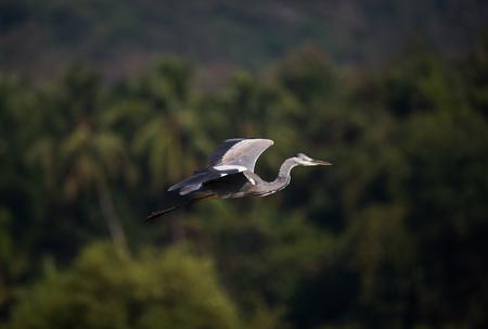 Ein grauer Reihervogel im Flug über einem grünen Sumpfgebiet