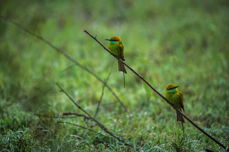 Two green bee eater birds hunting for bees in the morning