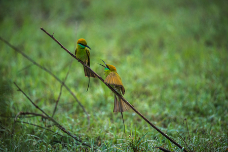 Two green bee eaters conversing each other in the morning