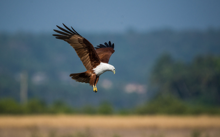 Sea Eagle going low ready to grab Stock Photo