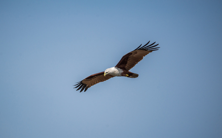 A sea eagle flying across the blue sky looking for prey