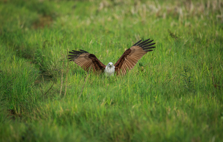 Sea Eagle on a paddy field with wings open
