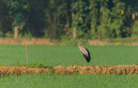 An Asian open bill on the side of a green paddy field
