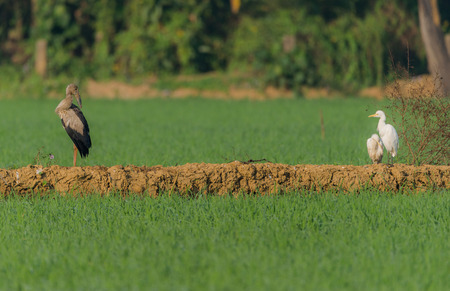 An Asian open bill on the side of a green paddy field looking at some cattle egrets Stock Photo