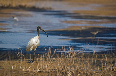 A adult black headed ibis standing on the side of a dried up river Stock Photo