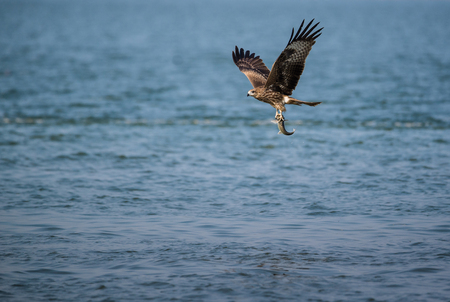 A Black Kite (Milvus migrans) bird flying away with a large fish it just caught from the sea