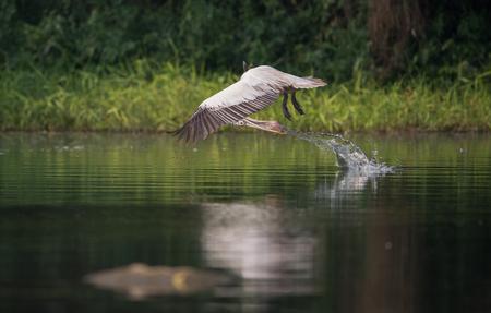Spot-Billed Grey Pelican (Pelecanus philippensis) near lake trying to catch fish