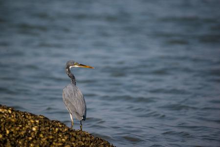 Western reef heron bird fishing from the sea Stock Photo