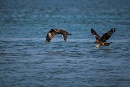 Black Kite birds catching fish from the sea