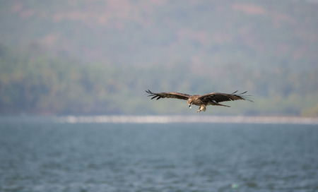 Black Kite bird eating the fish it just caught from the sea