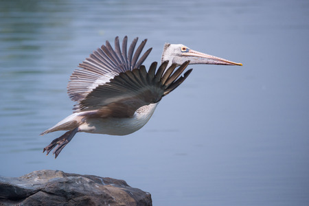 A spot billed pelican take off up close fromt the rocks in the river