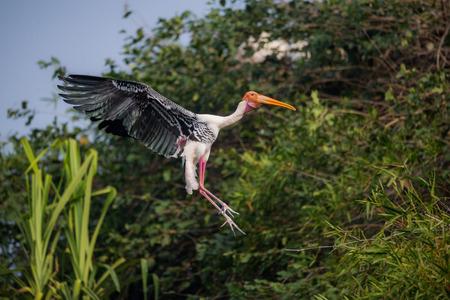 A painted stork bird in flight 写真素材