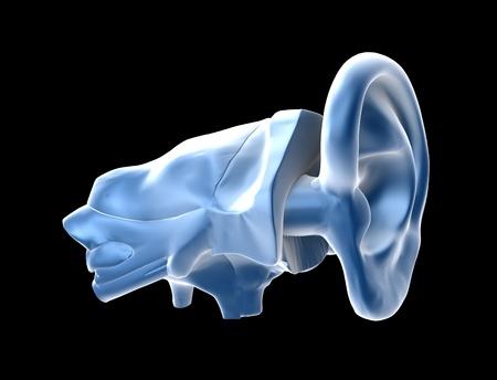 vestibule: Human ear c Anatomy