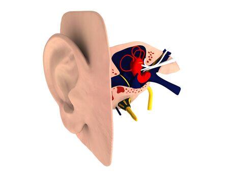 Human ear c Anatomy photo