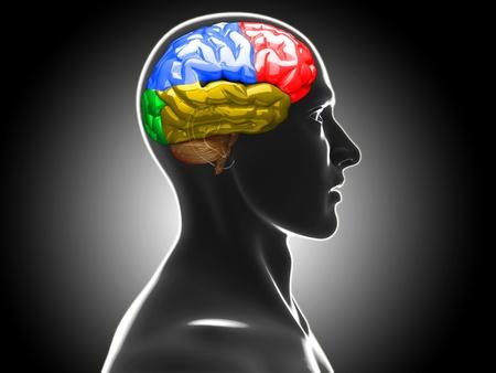 cerebro humano: cerebro humano Foto de archivo