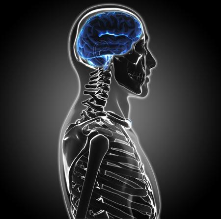 cerebro humano photo